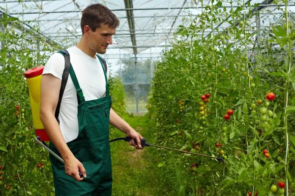 Pflanzenschutzmittel verbessen den Ertrag von Tomaten. Aber sie benötigen eine Zulassung.